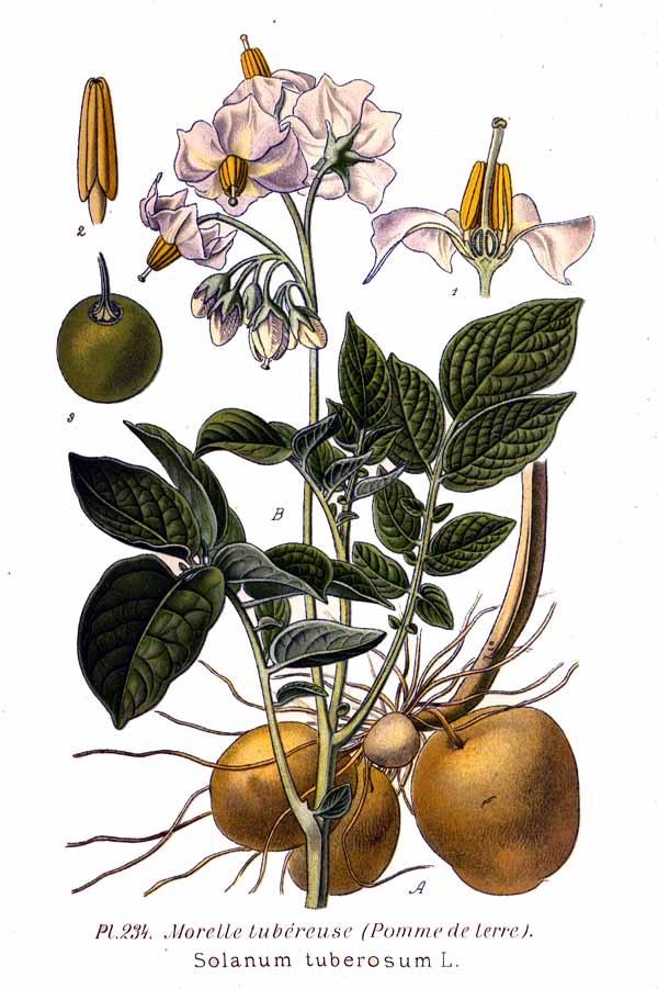 Planche botanique de la pomme de terre